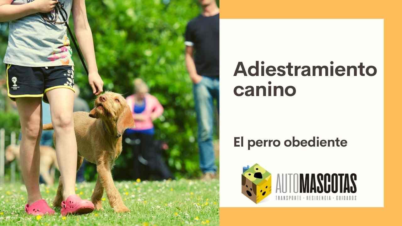 Adiestramiento canino, el perro obediente