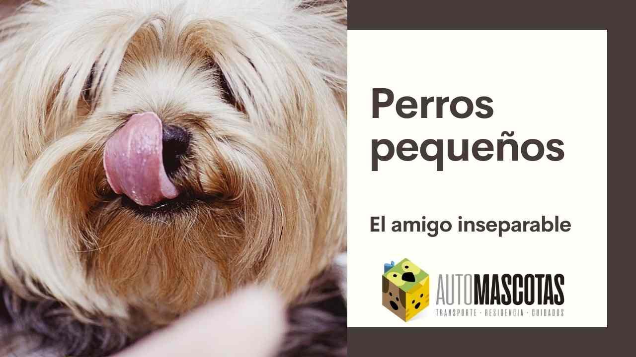 Perros pequeños, el amigo inseparable