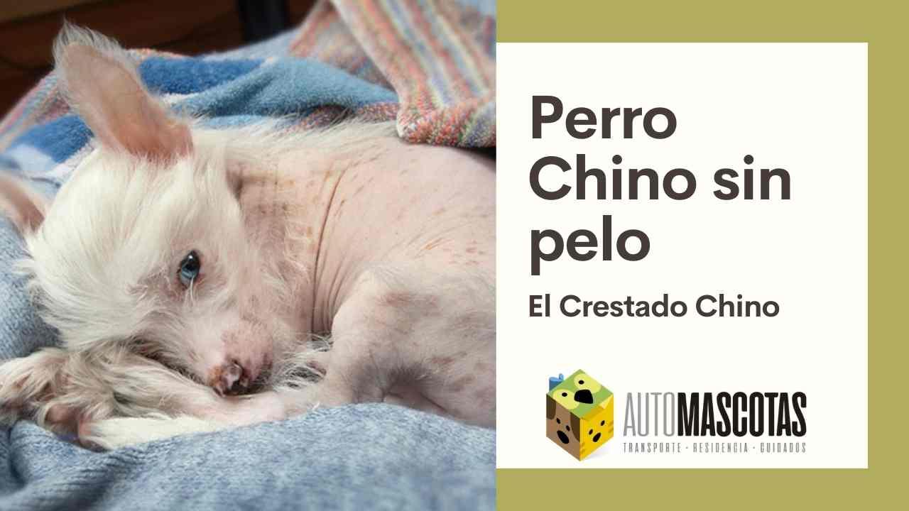 Perro Chino sin Pelo: el Crestado Chino