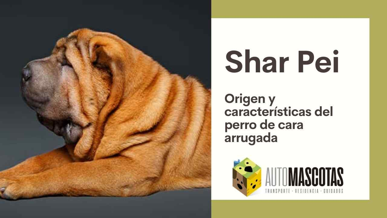 Raza de perro Shar Pei: Origen y características del perro de cara arrugada